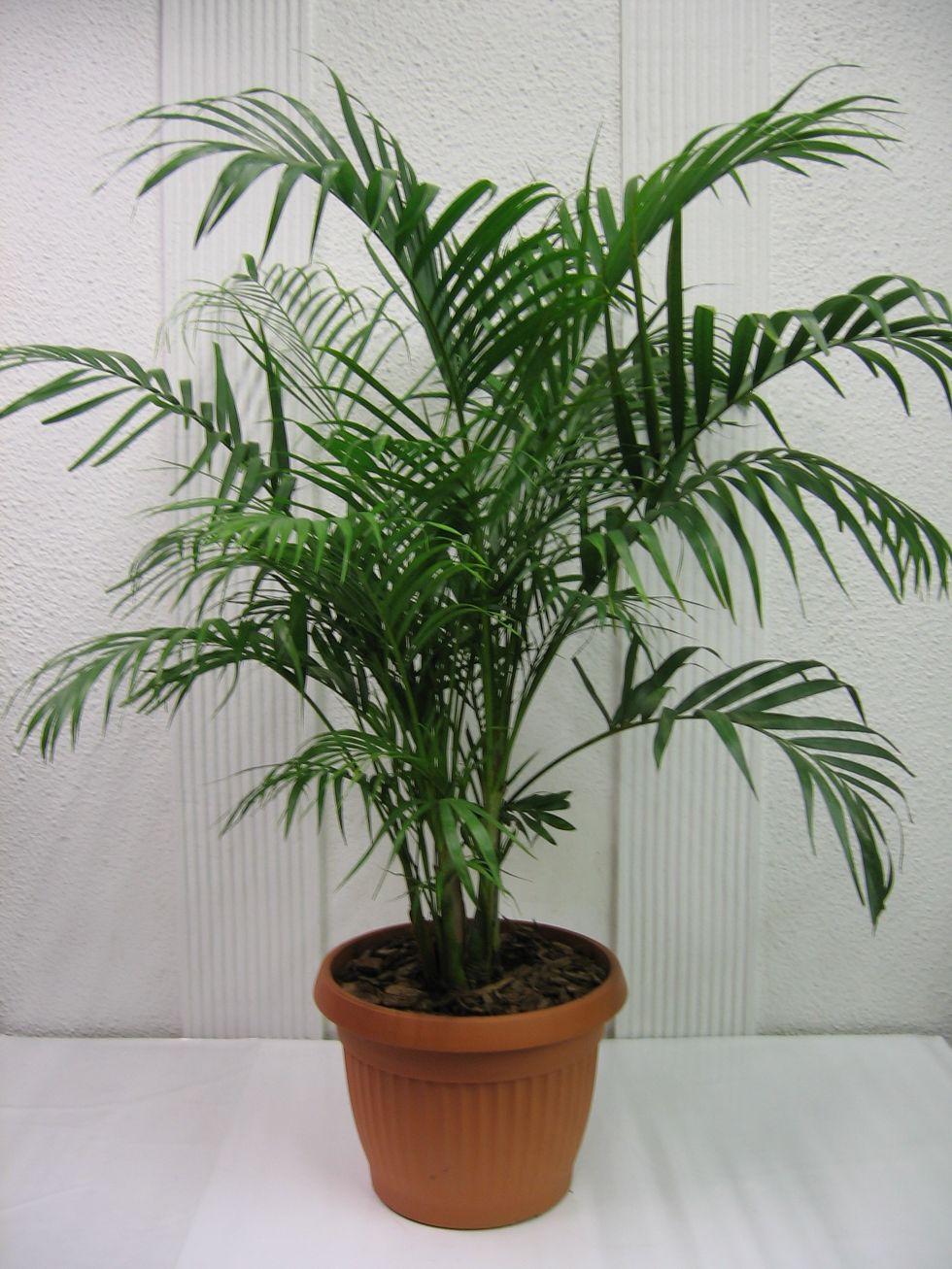 El jard n de gaia la palma areca for Plantas de interior tipo palmera