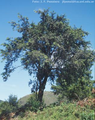 Pino del cerro (Podocarpus parlatorei)