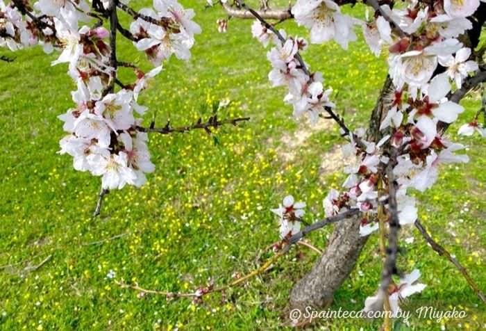 黄色い小花の上に咲く淡いピンク色したスペインのアーモンドの花