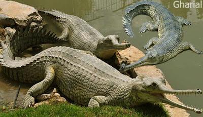 gharial reptile