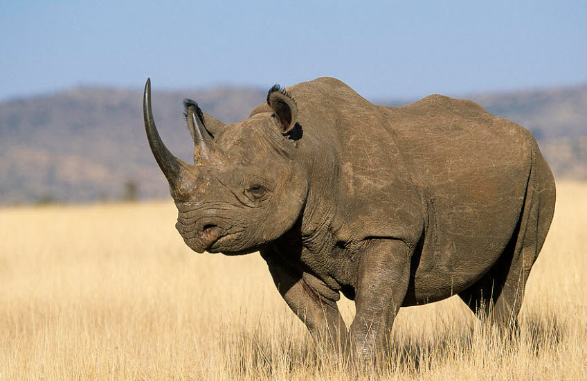 The Biggest Animals Kingdom Discovery Black Rhinoceros