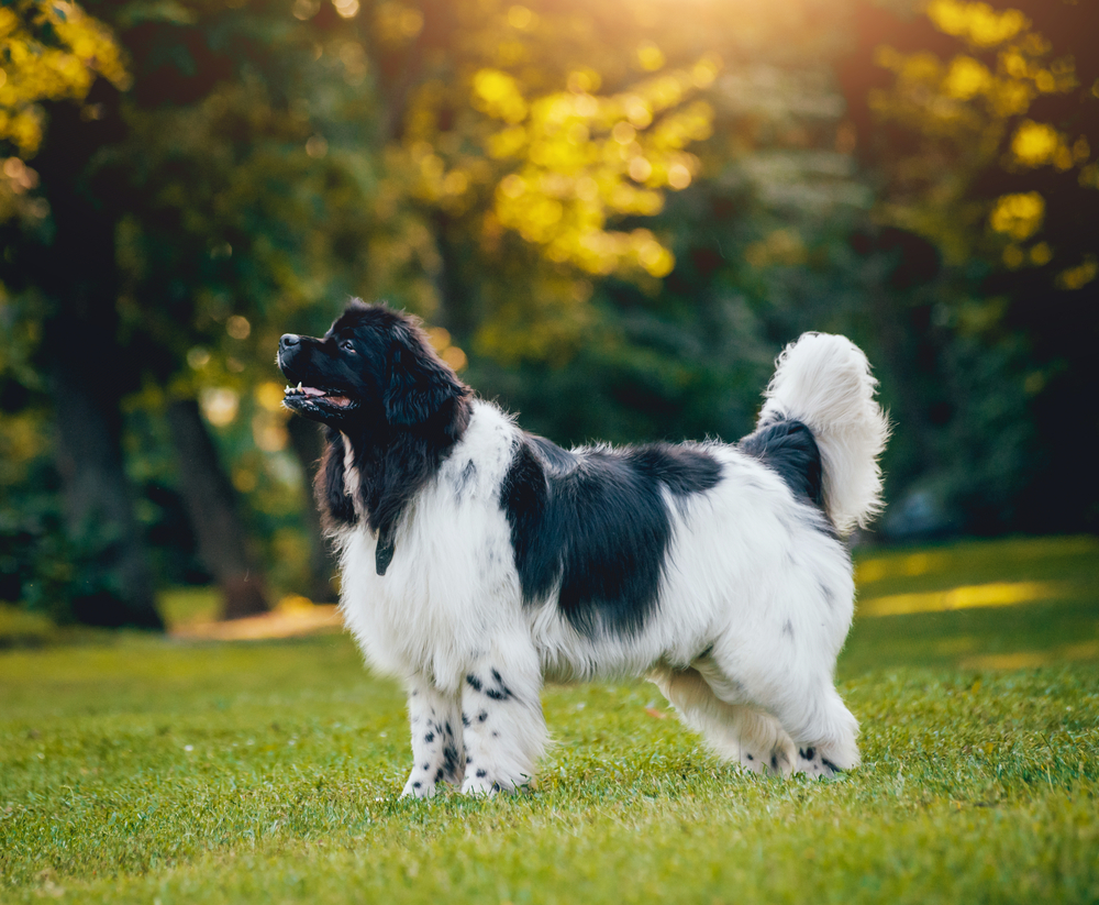 Make a Natural Dog Diet at Home for Better Health
