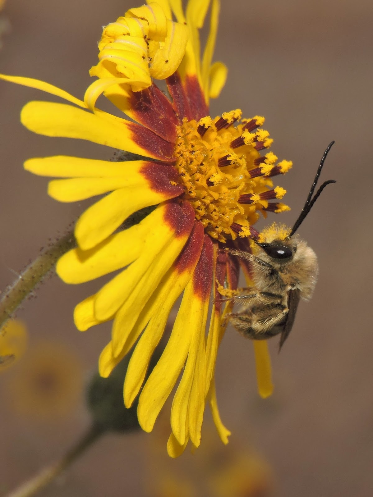 The Amateur Anthecologist Bees Of Southern Oregon 2016