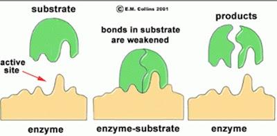 Mekanisme Kerja Enzim