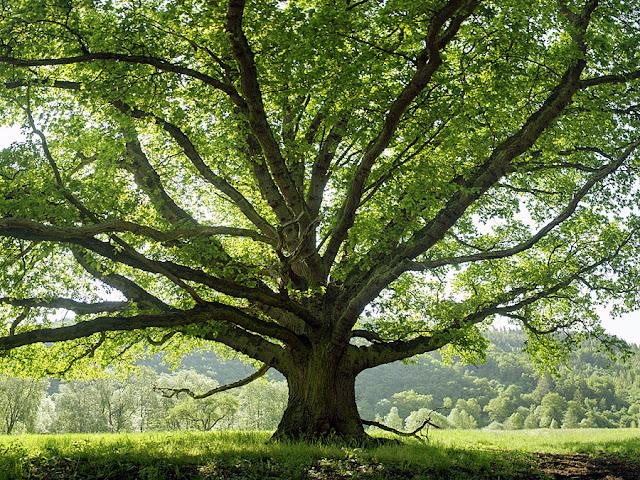 Anatomi Pohon