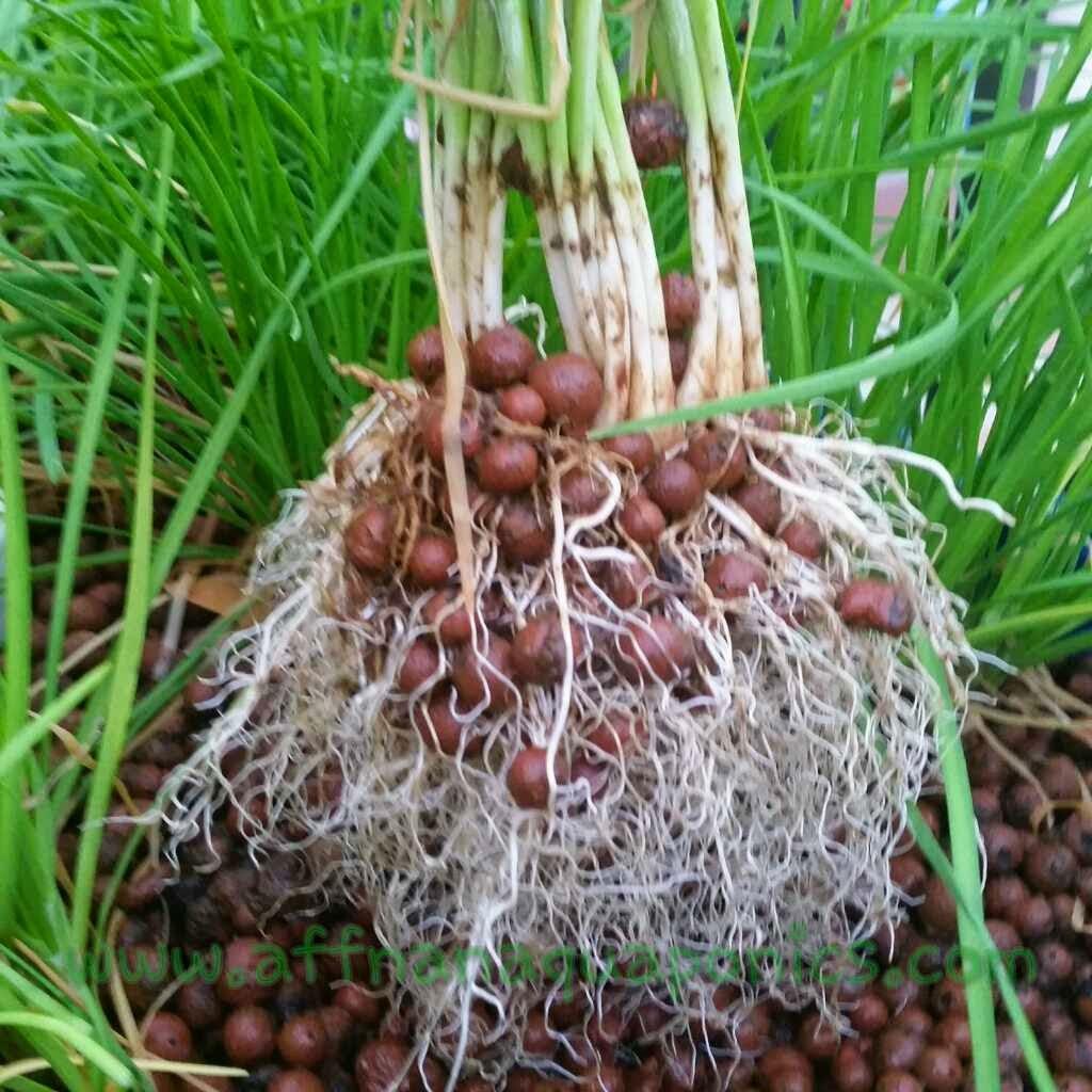 Affnan's Aquaponics: Potting Garlic Chives - Kuchai Redo