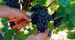 La vendimia, la uva y el vino de Santa Cruz de Tenerife
