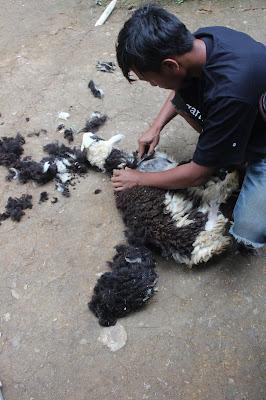 hewan ternak untuk kurban sedang dicukur bulunya