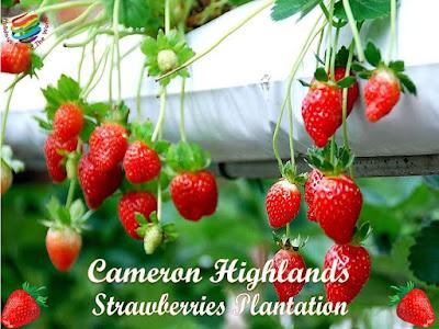 Strawberries Plantation, Cameron Highlands