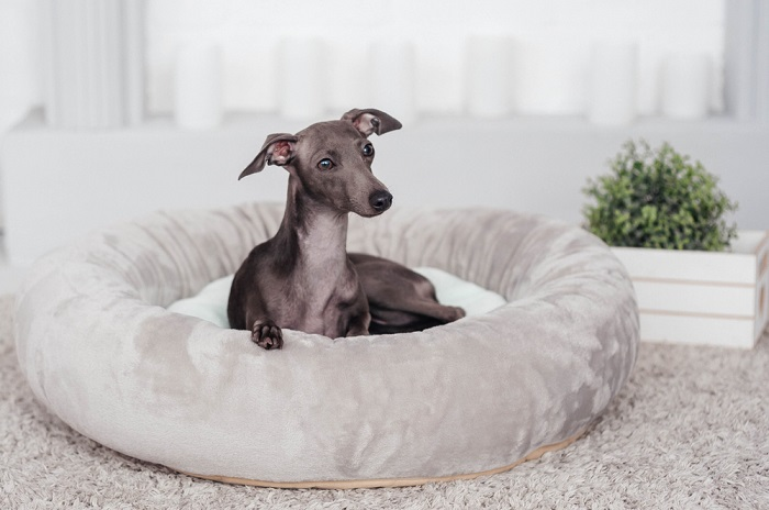 Greyhound 5 Breeds of Dogs Based On Your Personality & Needs