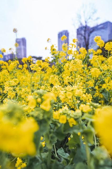 菜の花,浜離宮恩賜庭園,菜の花畑