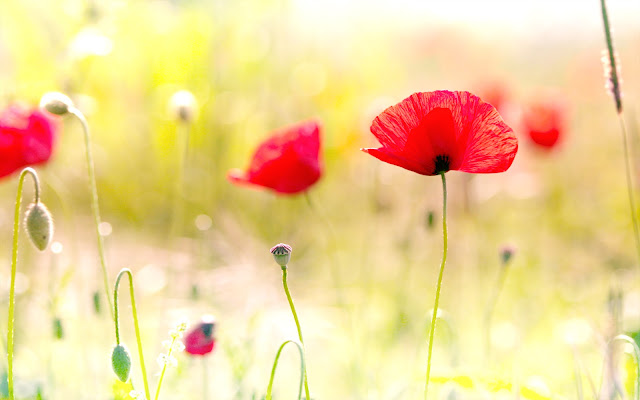 https://1.bp.blogspot.com/-_NDcURdQwJ0/UReE_1L9C1I/AAAAAAAAAHw/K6C16XSmDJg/s1600/poppy_flowers-wide.jpg