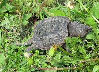 एलिगेटर स्नेपिंग टर्टल - Alligator snapping turtle