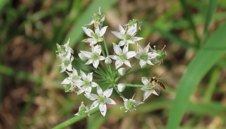 川辺に咲く花の蜜を吸うハチ