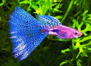 Cara mengobati ikan guppy