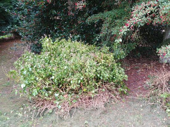Photograph of The ivy that had been covering the tomb - September 30, 2018  Image by the North Mymms History Project released under Creative Commons BY-NC-SA 4.0