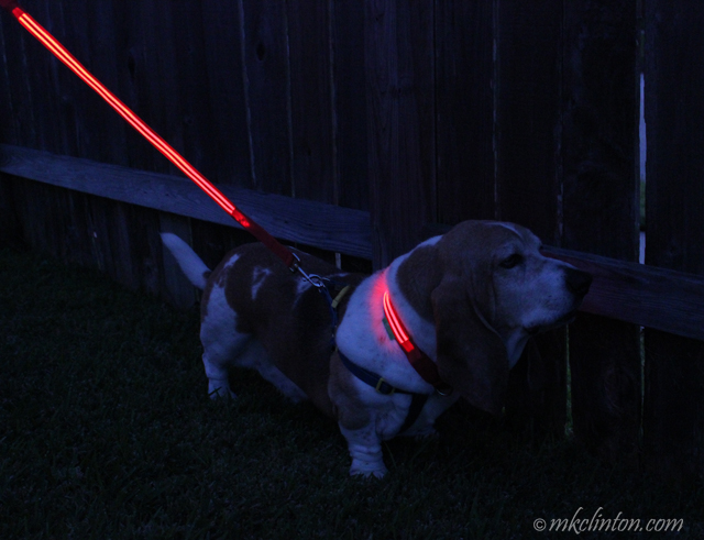 Basset Hound with illumiseen glow in the dark collar and leash