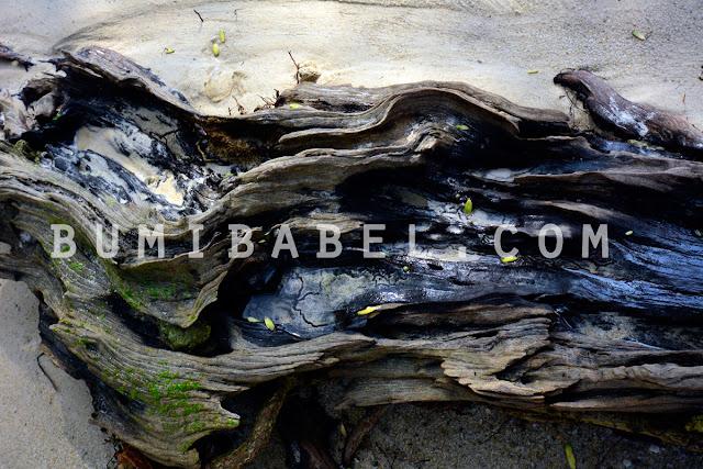 pohon-mentigi-di-pantai-belitong