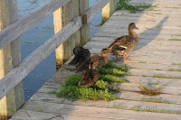 Mallard hen and her ducklings – Cavendish, PEI – © Denise Motard