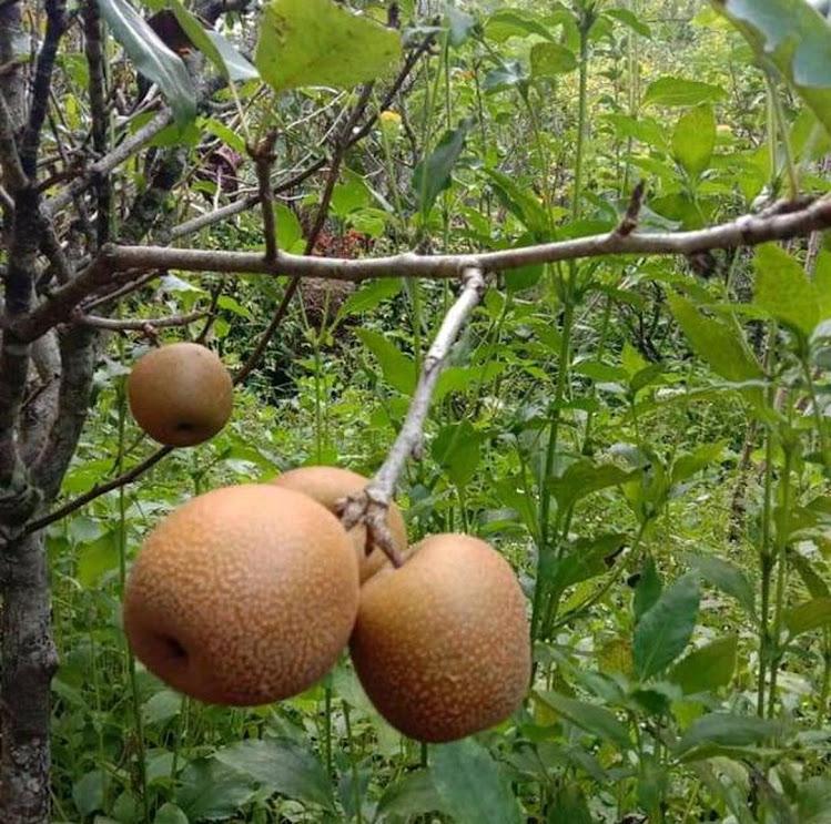 Bibit tanaman buah pear pir asia okulasi cepat berbuah Sumatra Utara