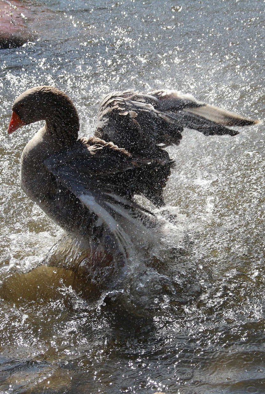 A goose splashing water.