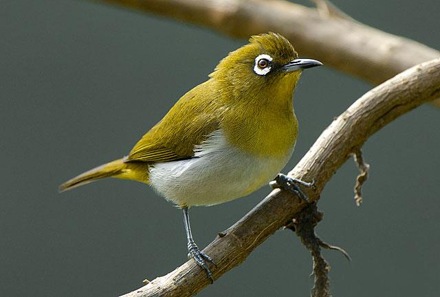 Sri Lankan Endemic Birds Lanka Sithasiya The Ceylon