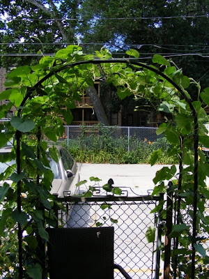 Chain Link Trellis Morning Glory As A Privacy Screen