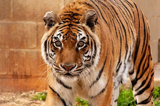 Tiger at Texas sanctuary declared world's oldest by Guinness World Records