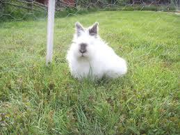 Bulu kelinci anggora english