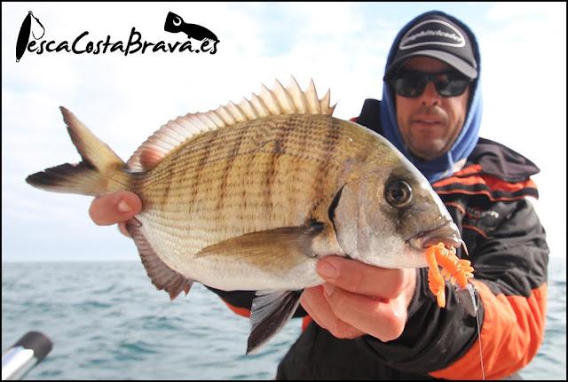 sargo bait breath virtual craw major craft crostage pesca costa brava jjpescasport - SARGOS con CANGREJO de vinilo