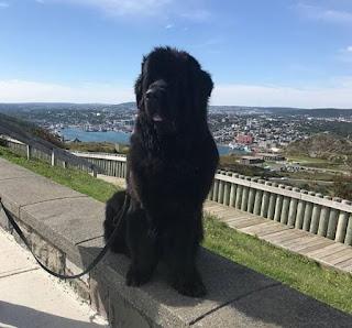 cachorro preto porte grande