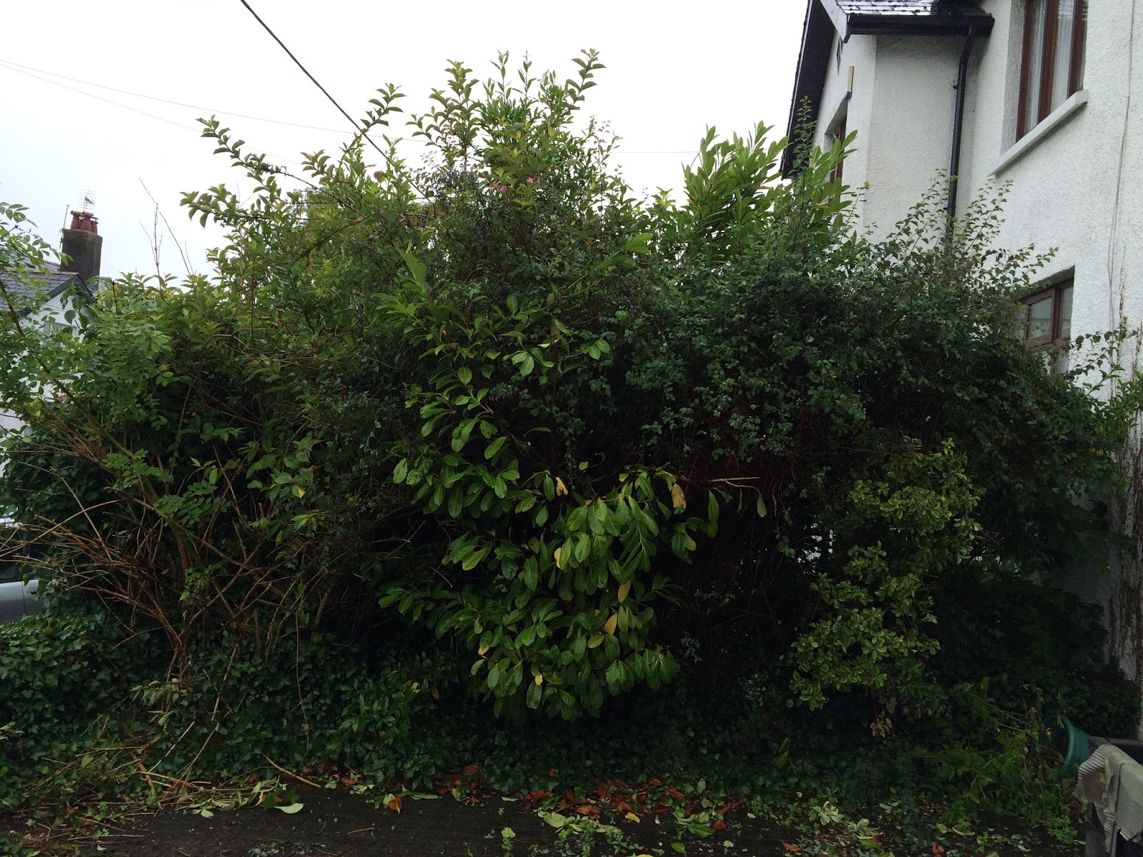 garden clean up - overgrown bush in front of house