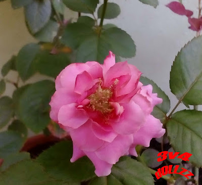 Mawar merah muda. Pink Rose.