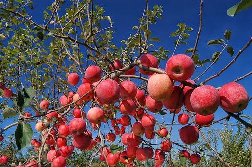 apple tree kashmir
