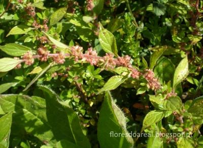 Plantas E Flores Do Areal Parietaria Judaica L