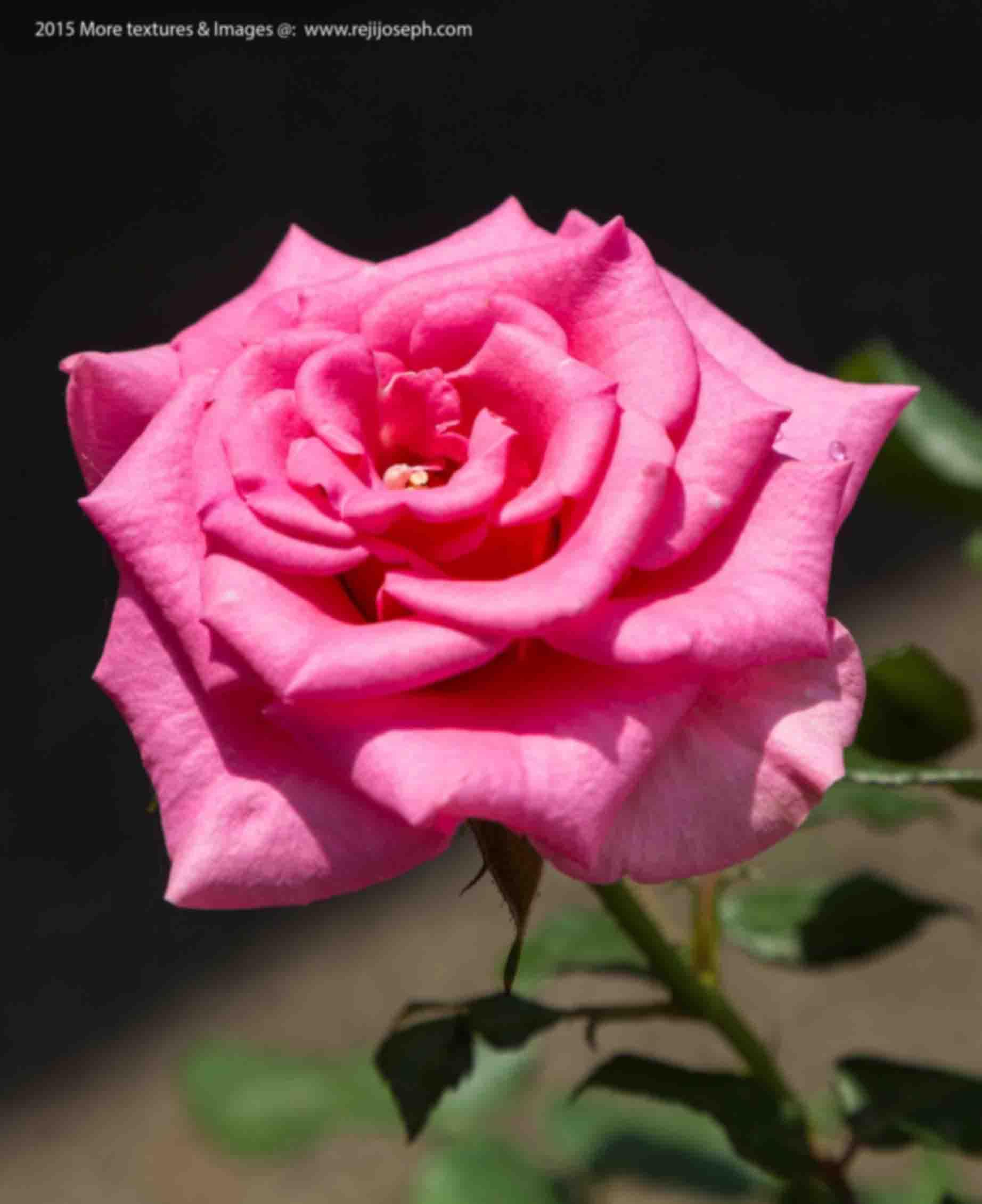 Rose Flowers 00003