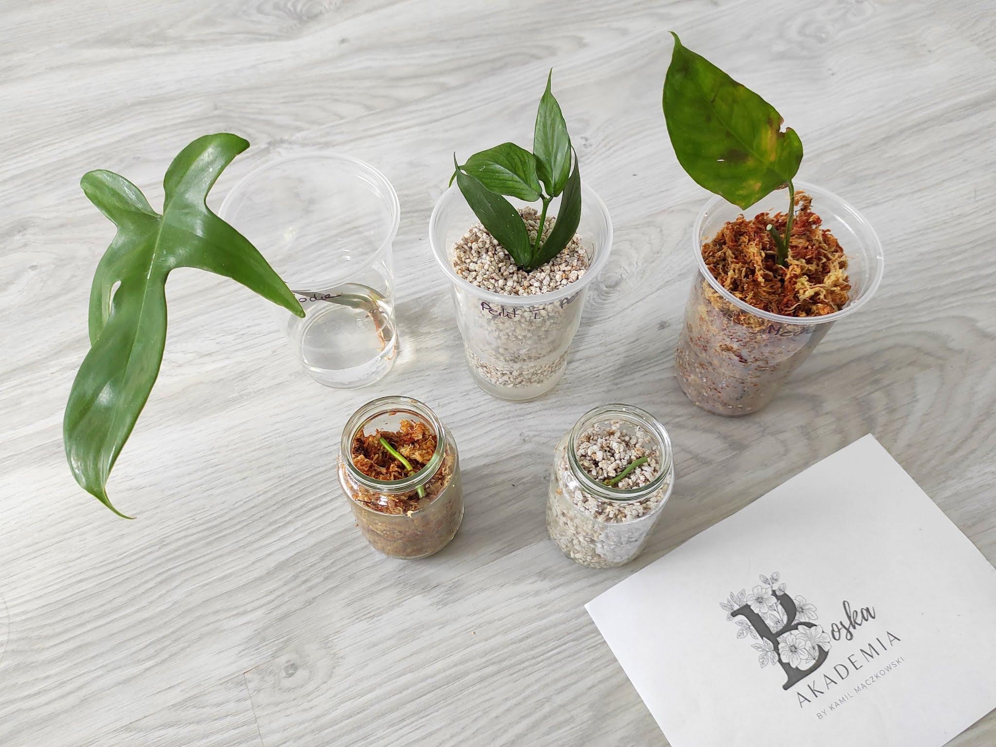 Boska Akademia- ukorzenianie roślin