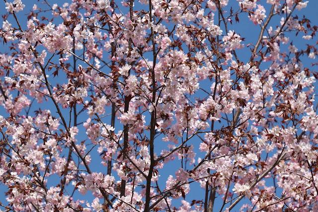 Bunga sakura indah