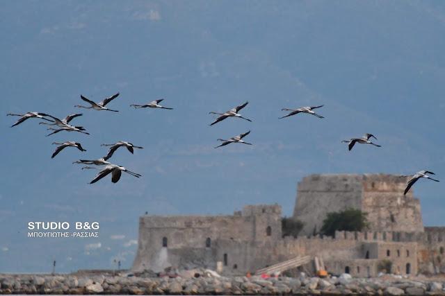 Τουριστική ατραξιόν τα φλαμίνγκο στο Ναύπλιο