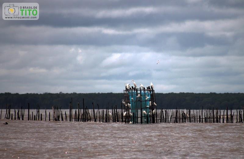 Aves descansam em currais na baía de Marapanim entre Marudá e Algodoal, no Pará
