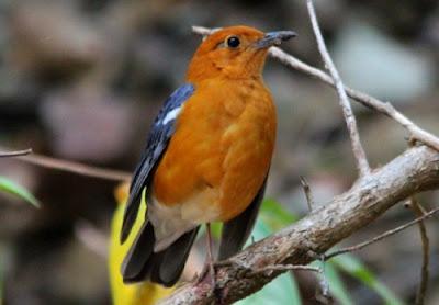 cara ternak burung anis merah