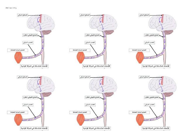 صور جاهزة للطباعة خاصة بالفعل الارادي و اللاارادي زادت سيد احمد  PDF