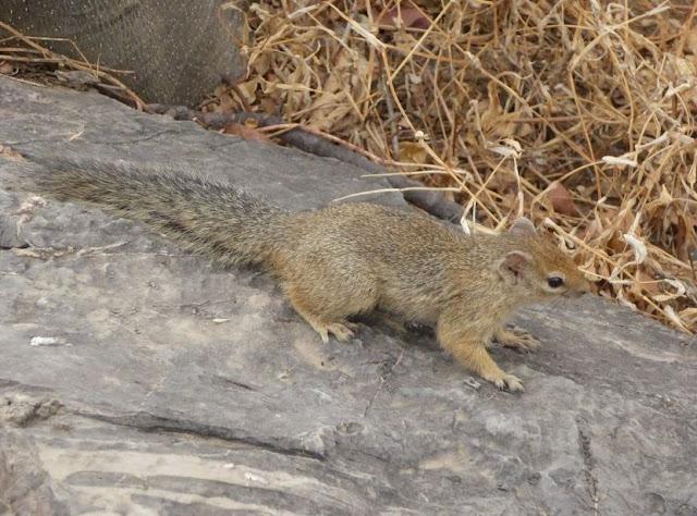 scoiattolo vicino alla pozza di halali