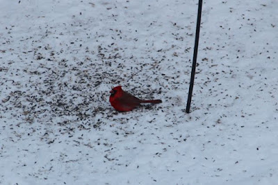 male Cardinal with sunflower seeds on snow