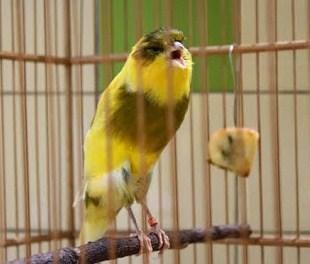 Tips Dan Cara Mengatasi Burung Kenari Agar Anteng Di Tangkringan Tidak Ngeruji