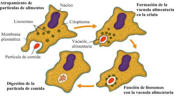 Fagocitosis El proceso por el cual las células engullen la materia sólida se llama fagocitosis