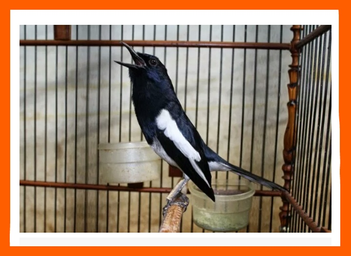 How To Take Care Of Kacer Birds For Beginners Smpn 1 Bungkal