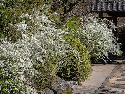 Yukiyanagi (Spiraea thunbergii) flowers: Kaizo-ji