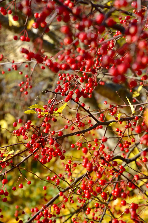 marjaomenapensas-punaiset-omenat