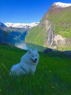 Majestic-looking white canine is relaxes on a cliff near the massive river valley known as Geirangerfjord at Skageflå farm